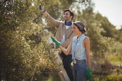 Smiling young couple plucking olives at farm Stock Image