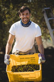 Smiling young man carrying olives in crate at farm Royalty Free Stock Photos