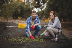 Smiling young man and woman collecting olives at farm Royalty Free Stock Images