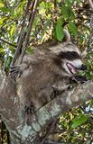 A baby raccoon in the fork of a tree. A smiling young raccoon in the fork of a green leafy tree royalty free stock photos
