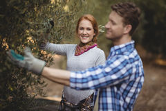 Smiling young woman with man plucking olives at farm Stock Image