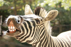Smiling zebra Stock Photos