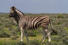Smiling zebra at Etosha National Park Royalty Free Stock Photo
