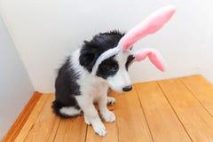 E 在家佩带复活节兔子耳朵的逗人喜爱的smilling的小狗博德牧羊犬滑稽的画象室内 库存照片