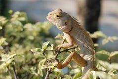 Smilling chameleon Royalty Free Stock Photos