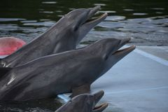 Smilling funny dolphins fom Varadero,Cuba. Funny smilling dolphins in Varadero stock photography