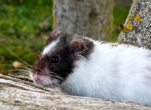 Smilling hamster Stock Images