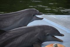 Smilling rolig delfinfom Varadero, Kuba royaltyfria bilder