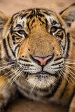 Smilling tiger Royalty Free Stock Image