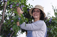 Smilling woman picking plums Stock Image