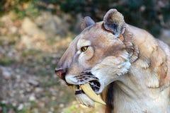 Smilodon - Saber τίγρη δοντιών Στοκ Φωτογραφίες
