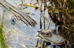 Smily the Alligator Royalty Free Stock Photography
