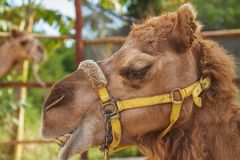 Smily Camel Royalty Free Stock Photo