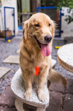 Smily Golden Retriever Stock Images
