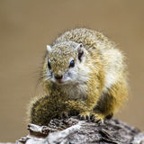Smith bush squirrel in Kruger National park, South Africa Royalty Free Stock Photos
