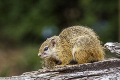 Smith bush squirrel in Kruger National park, South Africa Stock Images