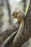 Smith bush squirrel in Kruger National park, South Africa Royalty Free Stock Photography