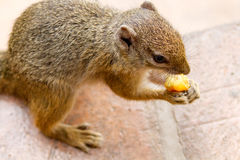 Smith Bush wiewiórka przy Wiktoria Spada safari stróżówka Fotografia Stock