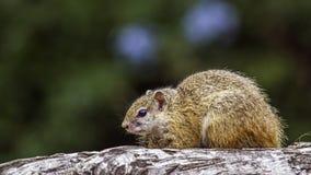 Smith Krzak wiewiórka w Kruger parku narodowym, Południowa Afryka Fotografia Stock