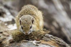 Smith Krzak wiewiórka w Kruger parku narodowym, Południowa Afryka Zdjęcie Stock
