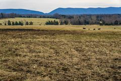 Smith Mountain in Bedford County, Virginia, USA. A view of Smith Mountain located in Huddleston, Bedford County, Virginia, USA with farmland and black cows lying royalty free stock images