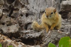 Smith's Bush Squirrel (Paraxerus cepapi) Stock Photo