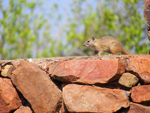 Smith`s bush squirrel. Running along a red stone wall with bokeh green foliage and blue sky in background. Madikwe Game Reserve, South Africa Royalty Free Stock Photography