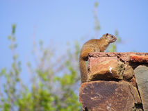 Smith`s bush squirrel. Sitting on a red stone wall with bokeh green foliage and blue sky in background. Madikwe Game Reserve, South Africa Royalty Free Stock Images