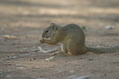 Smith's Bush Squirrel. The squirrel was in the Kruger Nat Park Royalty Free Stock Images