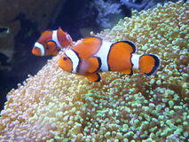 Smithsonian Clown Fish. Finding Nemo at the Washington Smithsonian Natural History Museum Royalty Free Stock Images