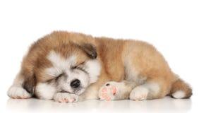 sömn för akita inuvalp Arkivfoton