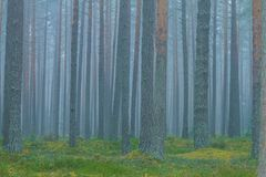 Smog im Wald, Lettland Große Fichte und Moos 2010 Stockbild