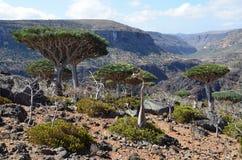 Smoków drzewa na Sokotra, Jemen Obraz Royalty Free