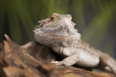 Smok, Agama jaszczurka na czerni lustra tle Obraz Stock