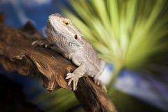 Smok, Agama jaszczurka na czerni lustra tle Fotografia Royalty Free