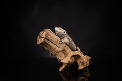 Smok jaszczurka Zdjęcie Stock