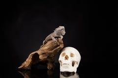 Smok jaszczurka i istoty ludzkiej czaszka Zdjęcie Stock