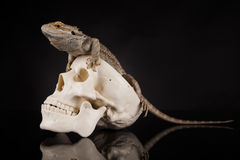 Smok jaszczurka na czarnym tle Zdjęcie Stock