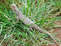 Smok jaszczurka w trawie zdjęcie stock