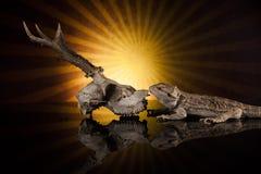 Smok jaszczurki następna jelenia czaszka Obraz Royalty Free