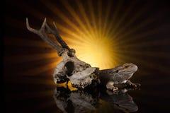 Smok jaszczurki następna jelenia czaszka Fotografia Stock
