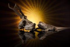Smok jaszczurki następna jelenia czaszka Zdjęcie Royalty Free