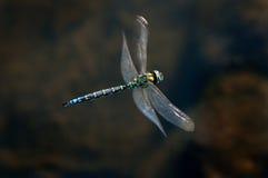 smok komarnica Obrazy Stock