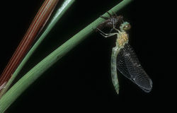 Smok komarnica Obrazy Royalty Free