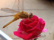 Smok komarnica Zdjęcie Royalty Free