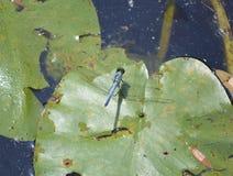 Smok komarnica Na leluja ochraniaczu Zdjęcia Royalty Free