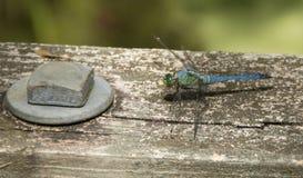 Smok komarnica na poręczu Zdjęcia Royalty Free