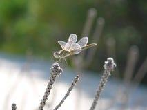 Smok komarnica na roślinie Obrazy Stock