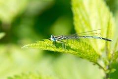 Smok komarnica, pospolity błękitny damselfly Obrazy Royalty Free