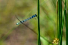 Smok komarnica, pospolity błękitny damselfly Zdjęcia Royalty Free